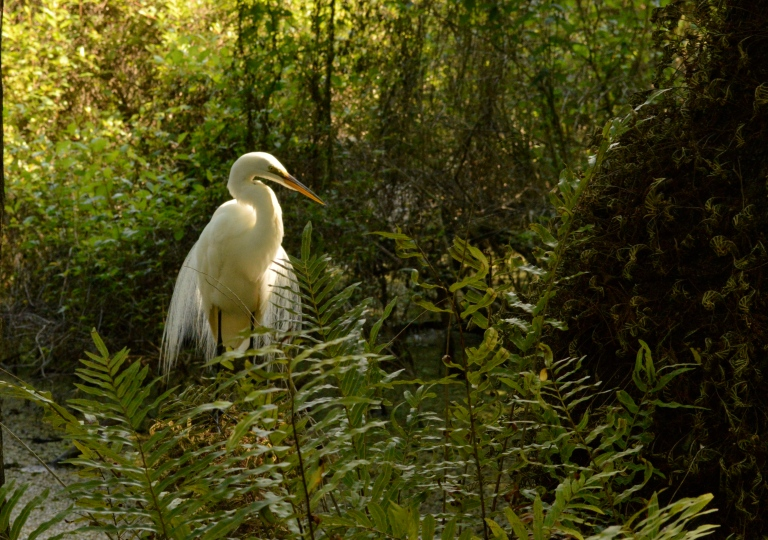 Now she was a beauty--White Heron.
