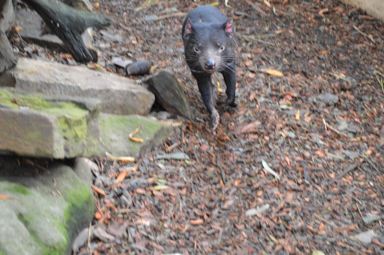 "Introducing what a REAL Tasmanian Devil looks like! A zookeeper overheard me saying how cute they are, and how they do not look mean at all, and said: ""They bite harder than an animal 4x their side."" Ouch!"