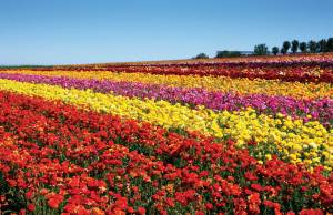 CARLSBAD FLOWER FIELDS, Photo Provided by: SanDiegan.com