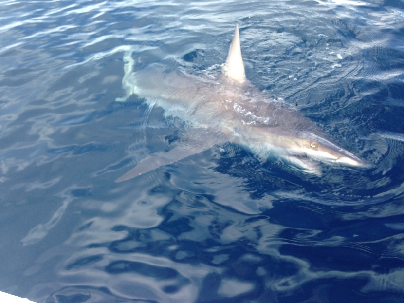 Shark Fishing the Palm Beaches, Tips & Tricks!