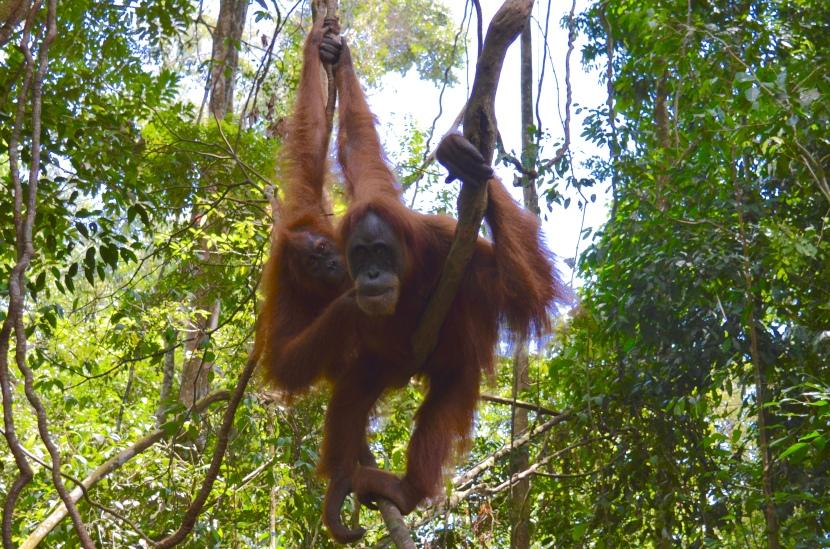 Orangutan Trekking: Bukit Lawang,Indonesia